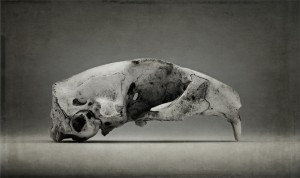 Arctic Ground Squirrel Skull 2