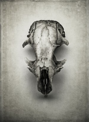 Arctic Ground Squirrel Skull 3
